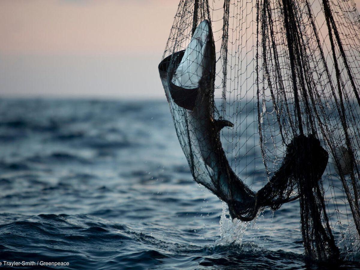 Foto: Tiburón capturado. (Reuters)