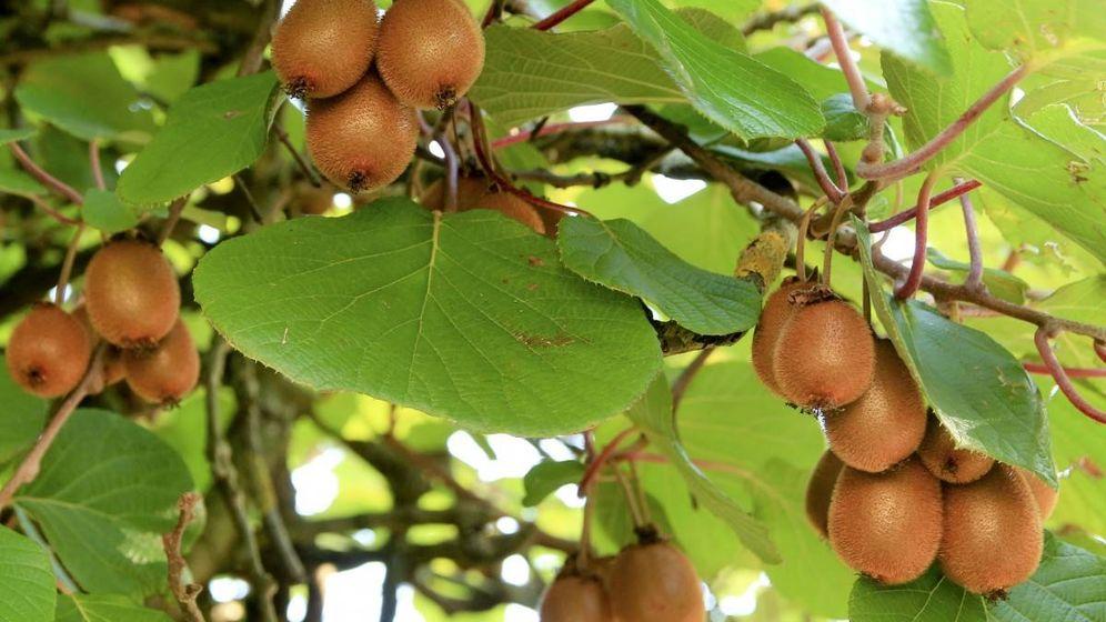 Foto: Un árbol con kiwis.