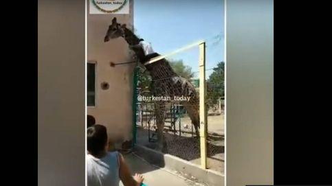 Un hombre  se sube a una jirafa en un zoológico de Kazajistan