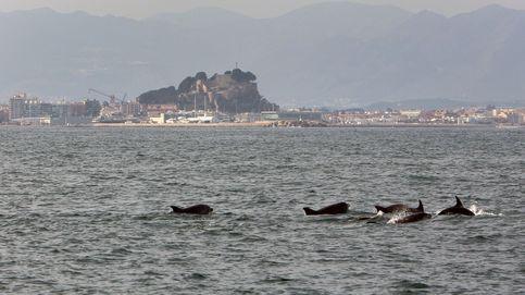 Captan en Tailandia un inusual avistamiento de delfines en medio de la pandemia