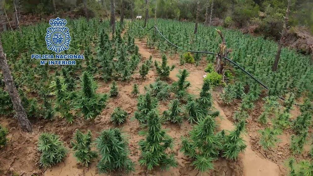 Foto: Plantación de marihuana. (Policía Nacional)