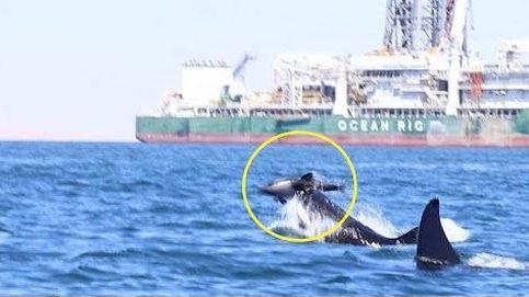 El momento en el que dos orcas matan a un delfín
