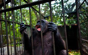 ¿Los chimpancés son como las personas? Guerra entre científicos