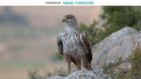 La brutal vista del águila perdicera: ve a su presa a 500 metros de distancia