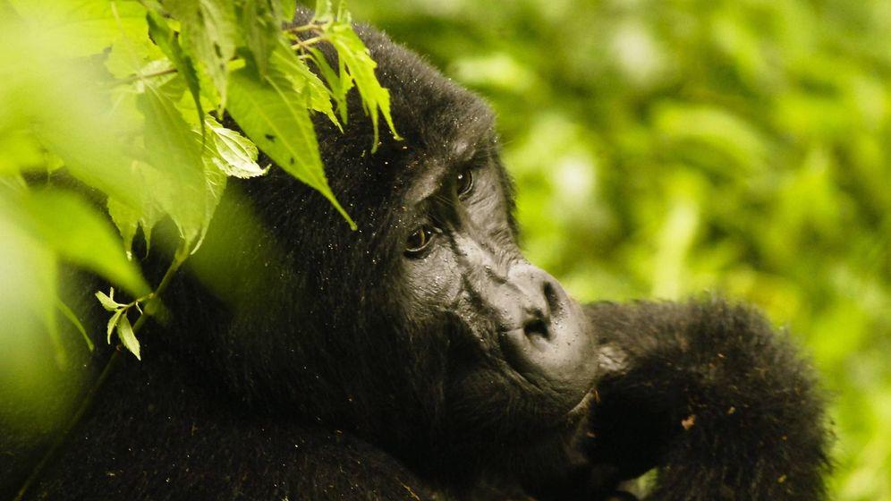 Foto: Un gorila de montaña en el Parque Nacional Bwindi Impenetrable. EFE/ Marc Hofer