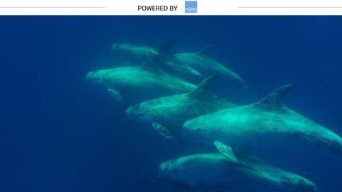 Así es el calderón gris: el delfín al que le cambia la piel