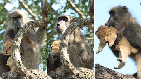 Un babuino recrea en Sudáfrica la imagen más famosa de El Rey León