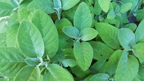 Salvia, una planta medicinal de la que beneficiarte