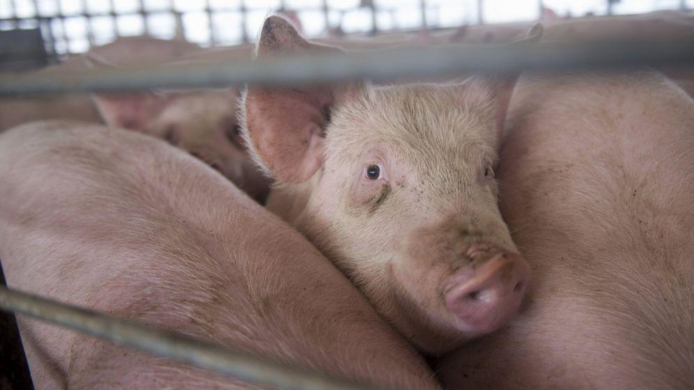 Foto: Cerdos en edad de sacrificio en una granja de Iowa. (Efe)