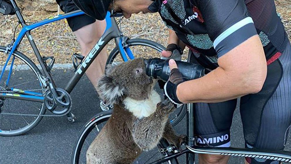 Un koala muerto de sed conciencia de nuevo sobre el cambio climático en Australia