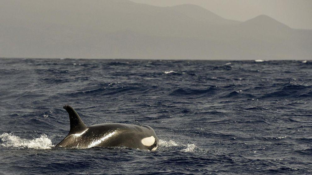 Las orcas vuelven a la costa de Galicia: cinco ataques a yates en dos semanas