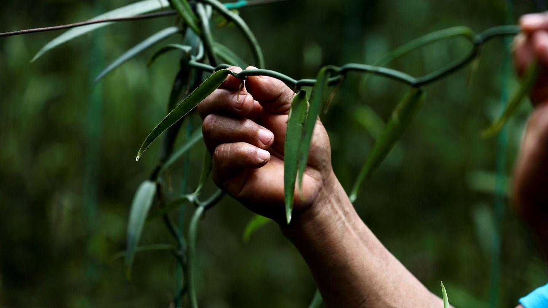 La vainilla es la segunda especie más cara del mundo, después del azafrán. (EFE)