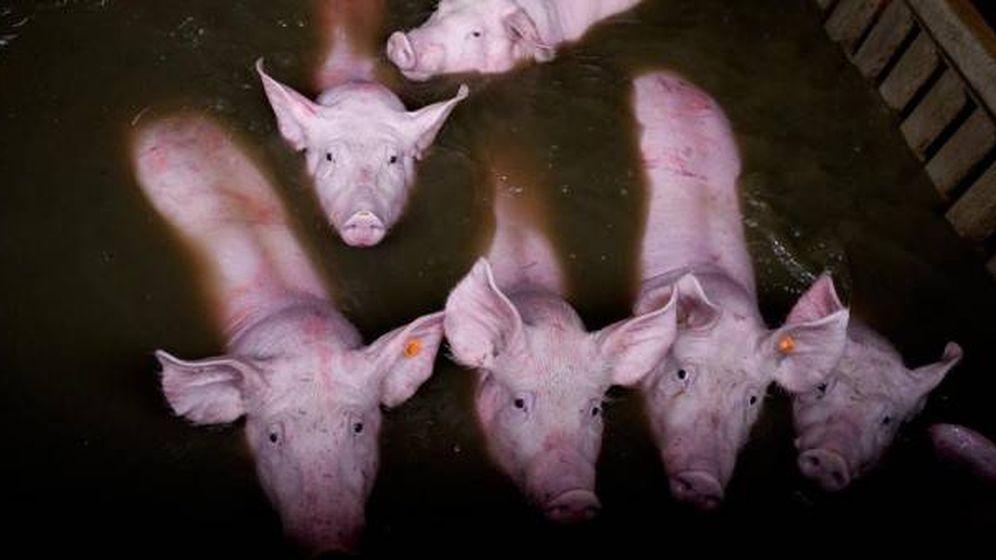 Foto: Varios cerdos tratan de no ser cubiertos por el agua. (AITOR GARMENDIA)