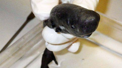 Descubren un nuevo 'tiburón luciérnaga' enano que brilla en la oscuridad
