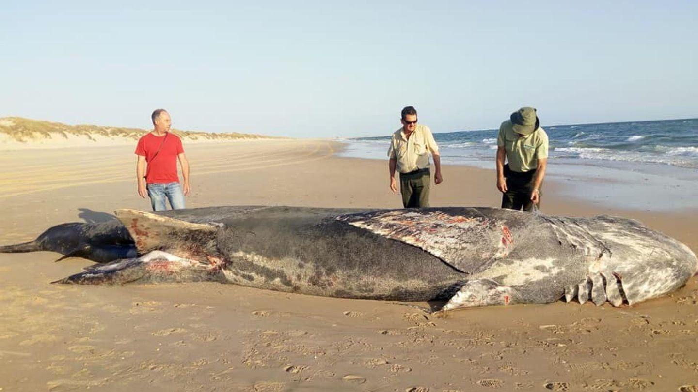 Tiburón peregrino varado en una playa. (EFE)