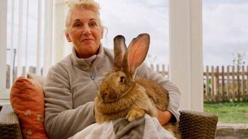 Roban el conejo más grande del mundo a una exmodelo de Playboy