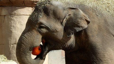 Cuidadores rescatan a un elefante de una trampa en la selva de Indonesia
