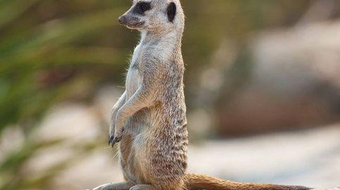 Tener una suricata (y estos otros 9 animales) es legal en España