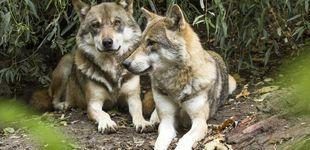 Post de Lobos y jabalíes llegan a las ciudades de Galicia y enfrentan a cazadores y animalistas