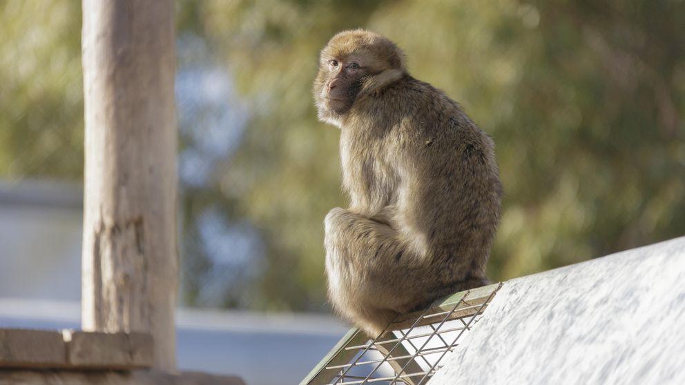 El mayor santuario de primates, en la cuerda floja: Para toros sí hay dinero