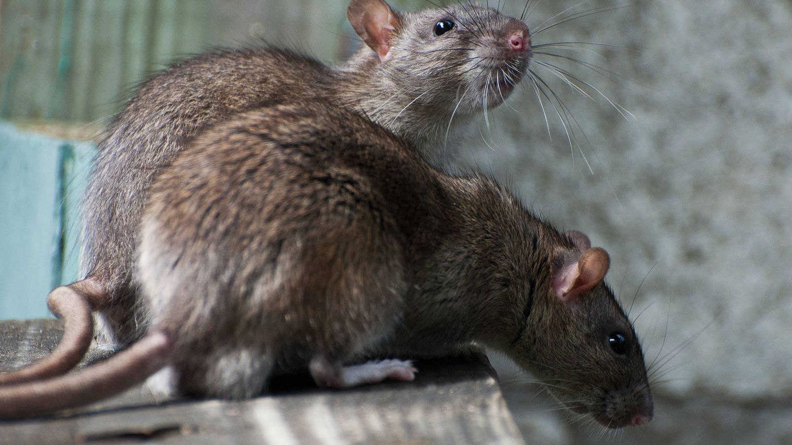 Por qué las ratas en el ático son una preocupación