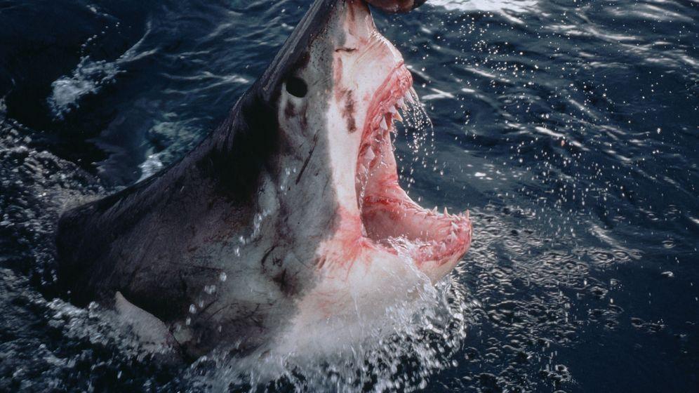 Foto: Un tiburón blanco se lanza contra un trozo de cebo