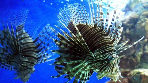 ¿Son ciertas las historias sobre los rugidos del pez león? Así es su 'voz'