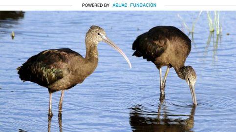 Los ibis vuelven a Doñana para 'recolonizar' Europa
