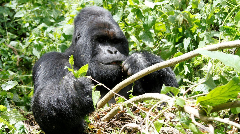 El asesino de Rafiki, el famoso gorila de Uganda, condenado a 11 de años de prisión