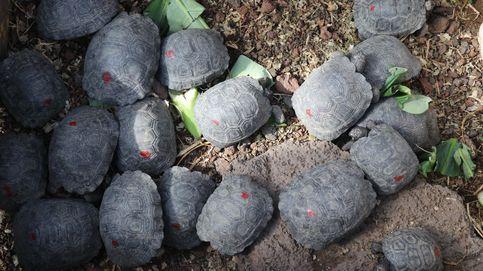 Hallan 185 crías de tortuga en una maleta en el aeropuerto de las Islas Galápagos