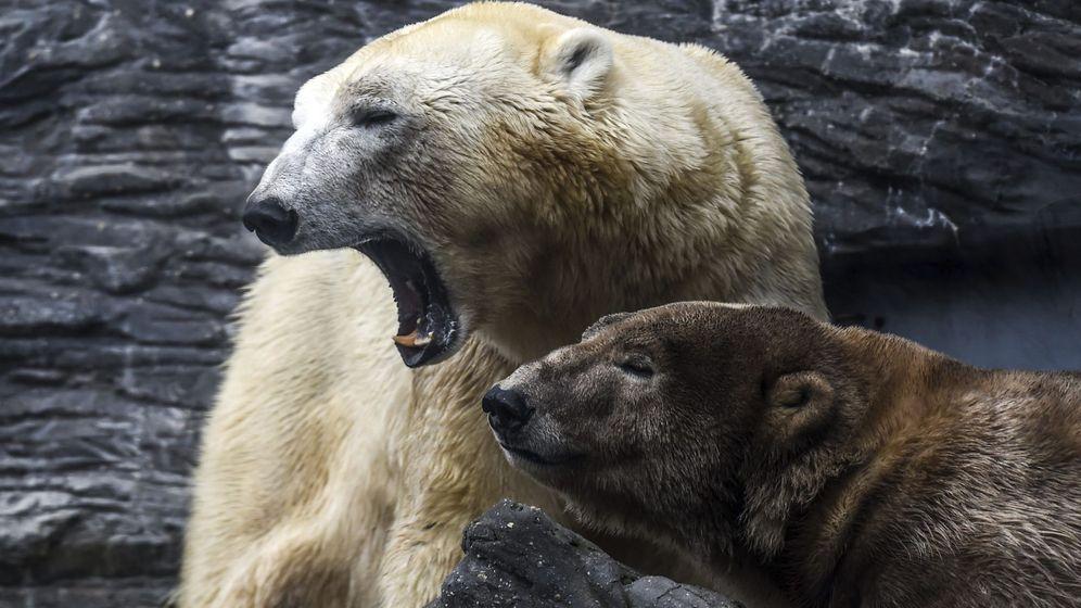 Foto: Imagen de archivo de osos polares (EFE)