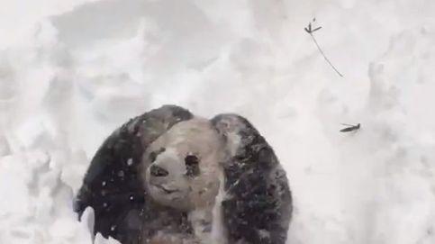 El oso panda que juega con la nieve: esta es la cara de la absoluta felicidad