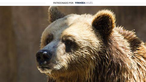 Avistamiento de osos pardos en el Parque Natural de L'Alt Pirineu