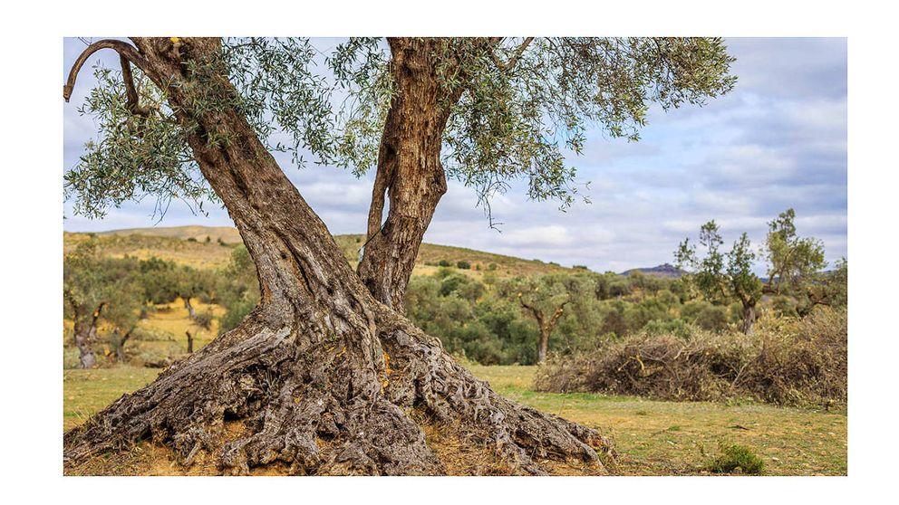 Apadrina un olivo: una iniciativa para que los árboles se ayuden a sí mismos