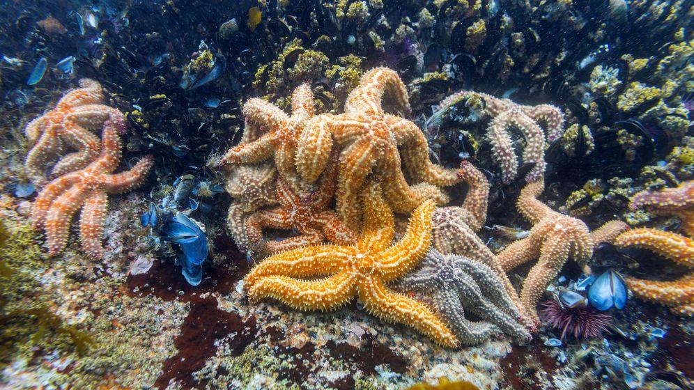 Foto: Foto de archivo de estrellas de mar bajo un bosque de kelp, algas pardas de gran tamaño y valor ecológico. (EFE)