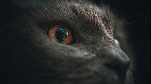 Los gatos de Australia matan a 83 millones de reptiles y 80 millones de aves