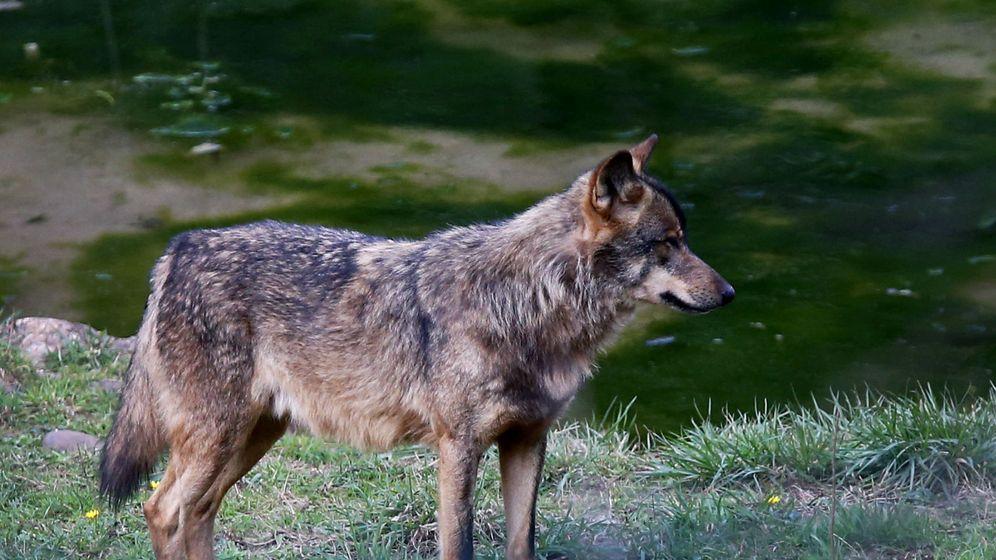 Foto: La amenaza del lobo en el norte de España. (EFE)