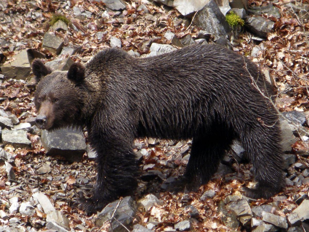 Foto: Un oso cantábrico macho. (EFE)