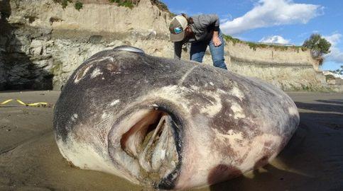 Qué es el pez Mola tecta, el misterioso gigante que apareció en playas de California