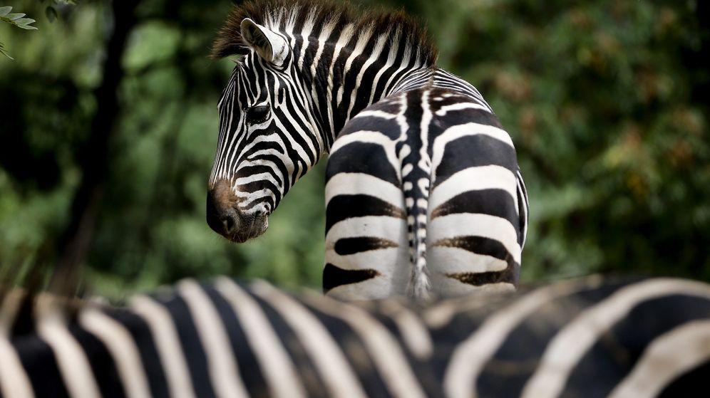 Foto: ¿Por qué las cebras tienen rayas? Un estudio refuta la teoría más común sobre su piel. (EFE)