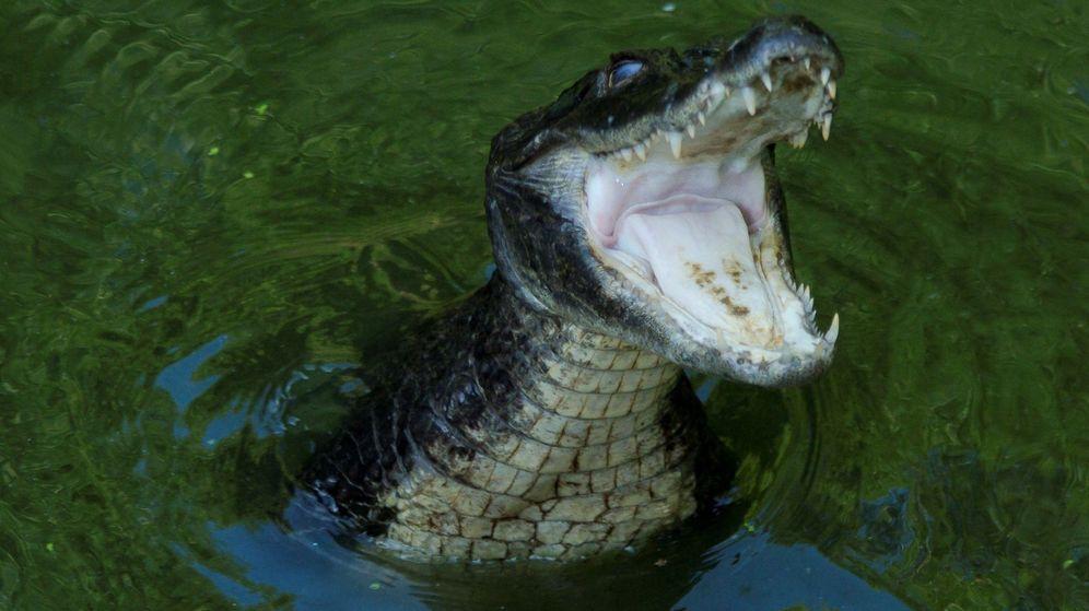 Foto: Los caimanes de Tennessee se enfrentan a un problema que ellos no han buscado (EFE/Ricardo Maldonado)