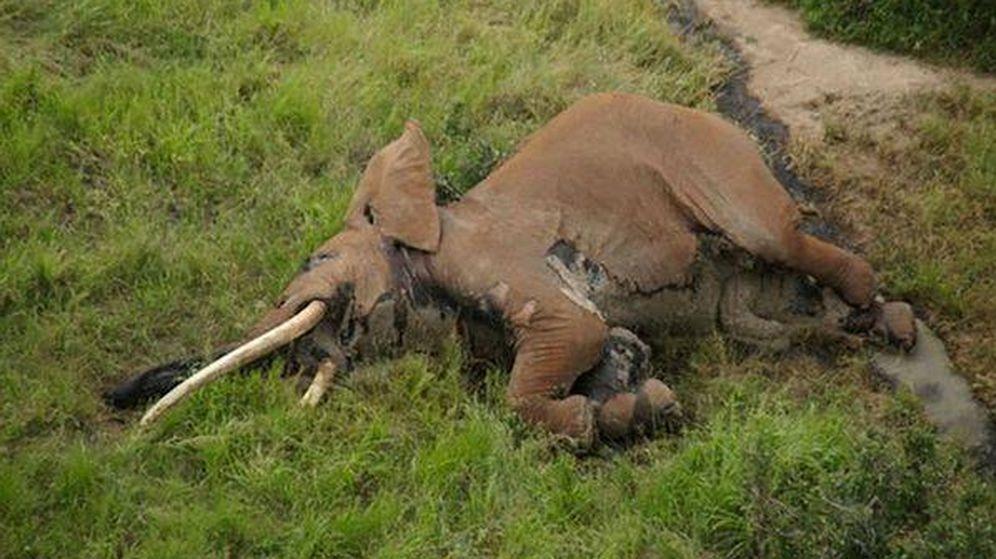 Foto: Satao II ha muerto a causa de las flechas de los furtivos. Foto: Tsavo Trust