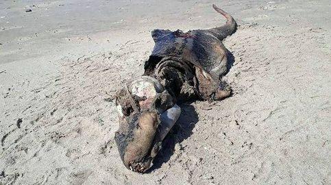 ¿Qué es este animal? Un esqueleto aparece en una playa de Gales y nadie sabe su origen