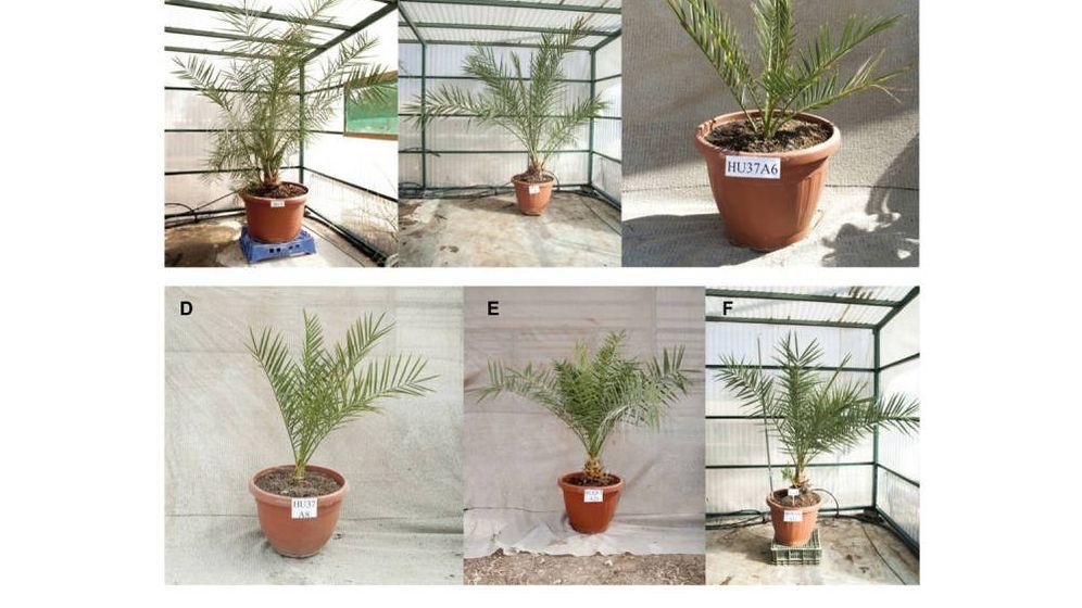 Foto: Foto de las seis palmeras germinadas. Foto: Science Advances.