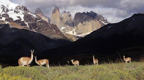 Guanacos, los curiosos camélidos salvajes de la Patagonia