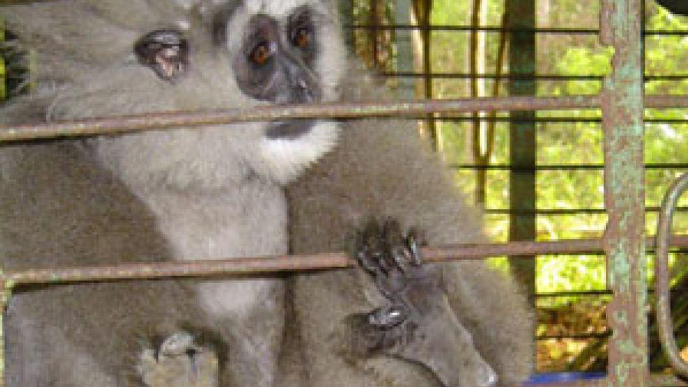Orangutanes, tigres, macacos: todo puede comprarse en Indonesia