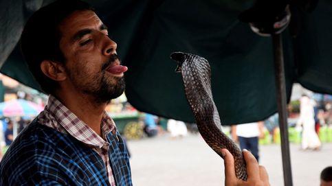 Cultivan glándulas venenosas de serpiente y consiguen mejores antídotos
