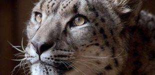 Post de Matan a un leopardo de las nieves que se escapó de la jaula del zoo en el que vivía