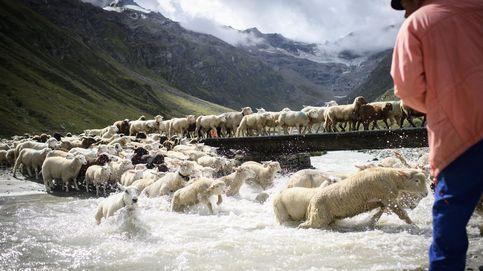 Viaje con ovejas