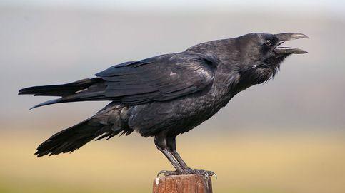 El cuervo puede ser el animal más inteligente del planeta